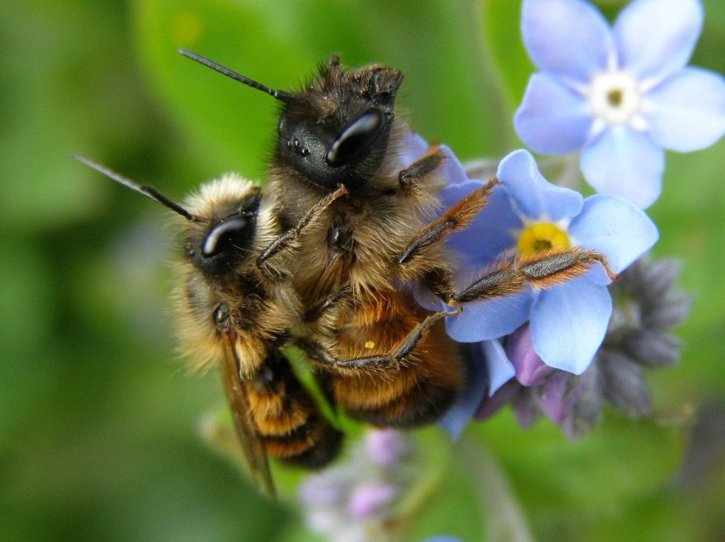 abeilles solitaires qui se reproduisent