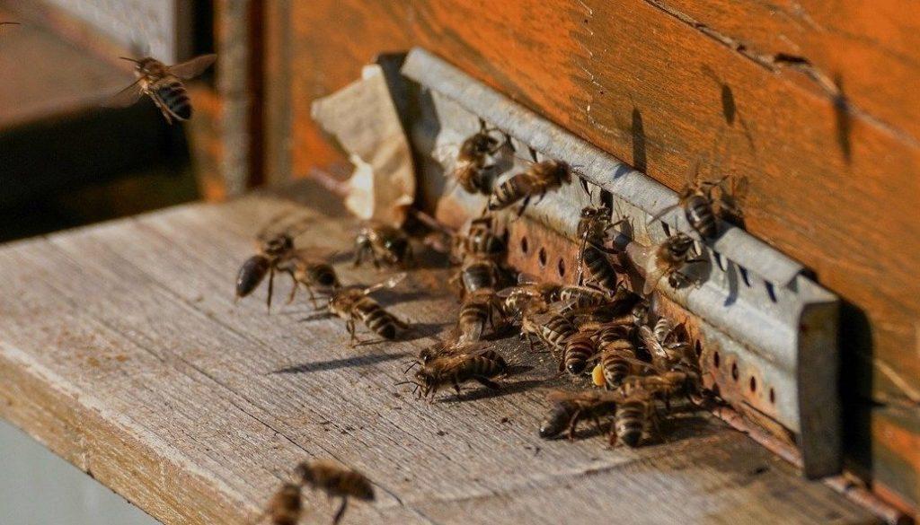 abeilles mellifères devant leur ruche