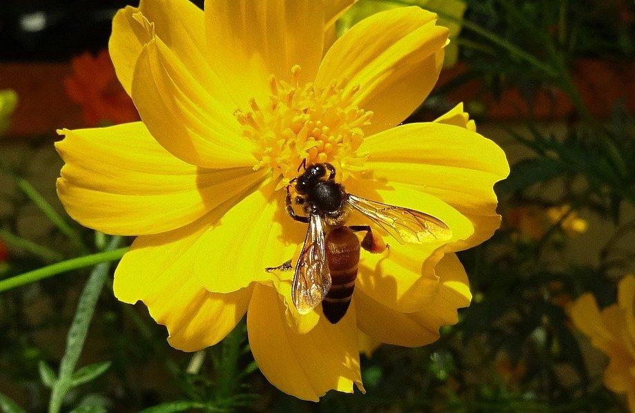 Apis dorsata la plus grosse abeille du genre Apis