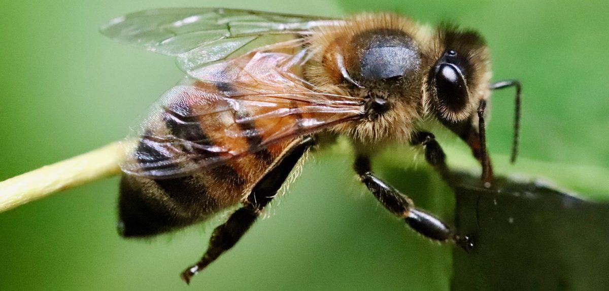 venin abeille