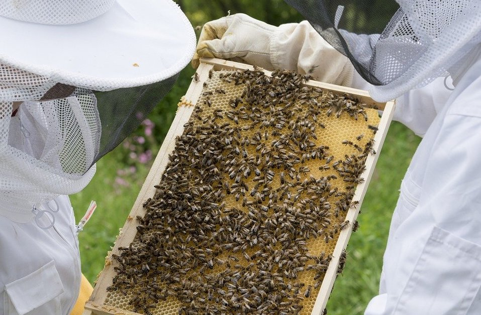apiculteurs qui inspectent le couvain d'abeilles