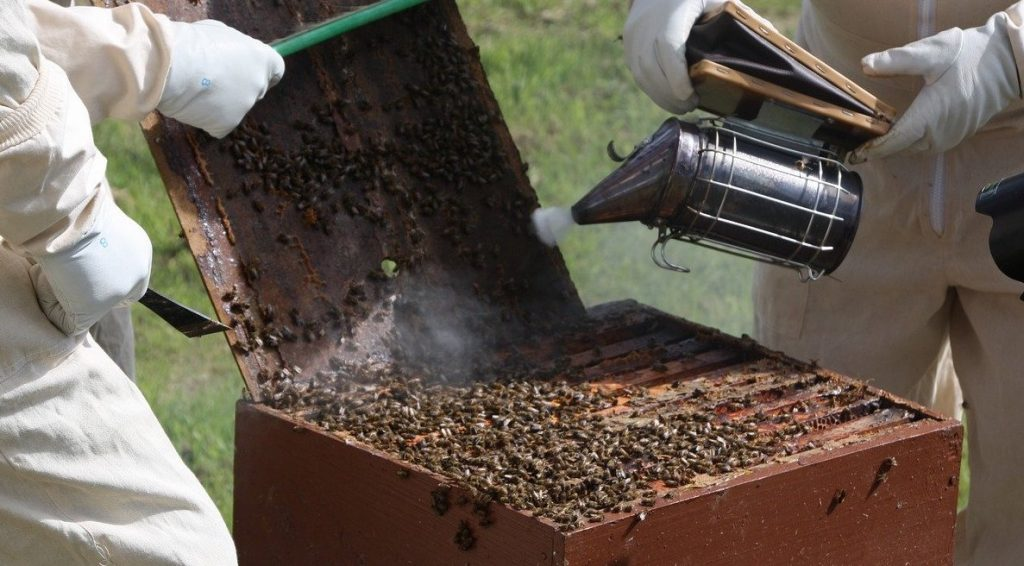 Enfumoir à l'ouverture d'une ruche