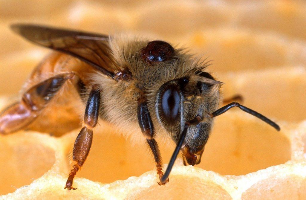 varroa destructor sur abeille apis mellifera