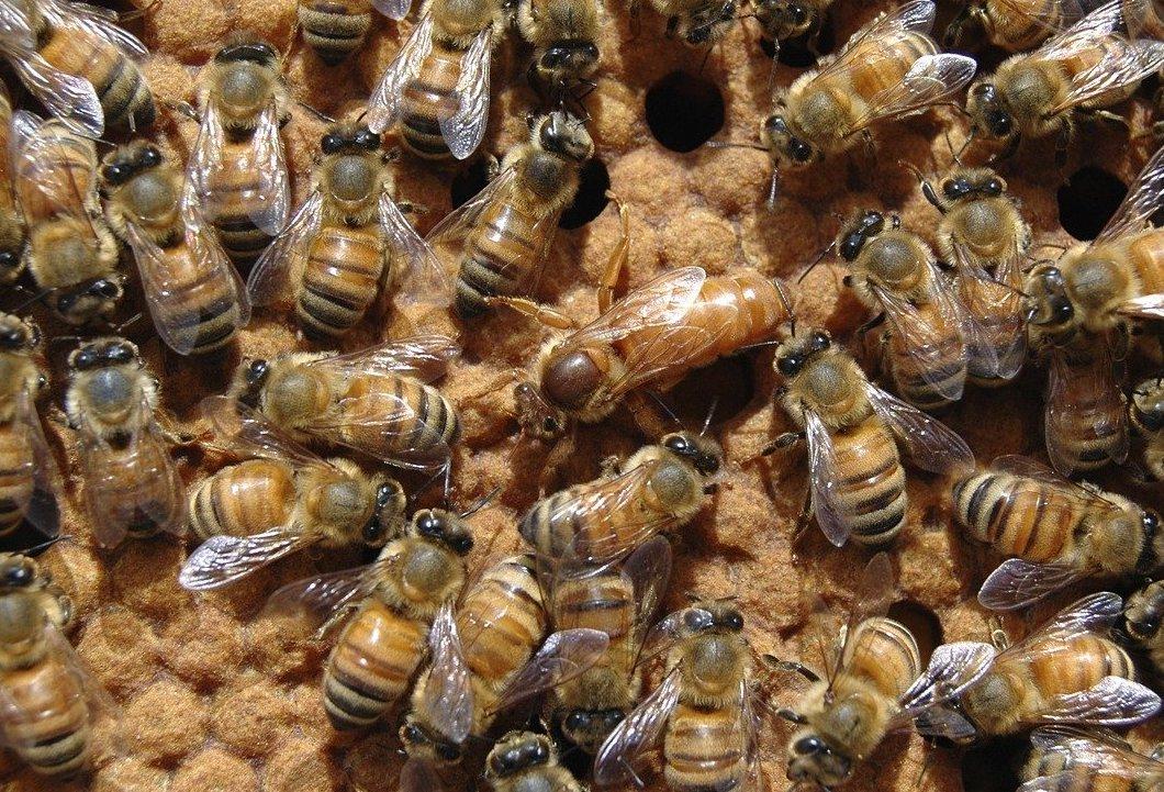 reine abeille et ouvrières